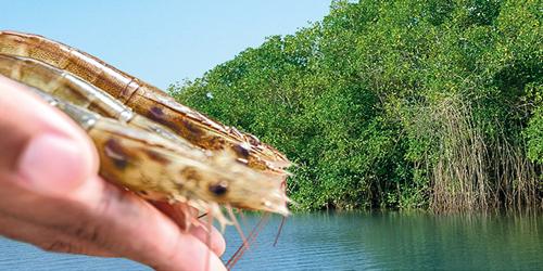 Les crevettes d'Équateur ASC